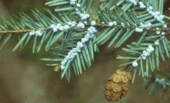 Abies canadensis (Пихта канадская)
