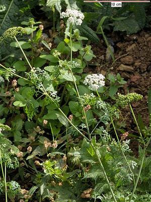 Aethusa cynapium (Петрушка собачья, Кокорыш, Этуза, Омег)