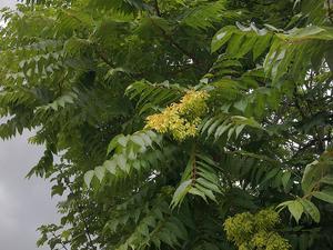 Ailanthus peregrina (Ясень китайский, Айлант иноземный)