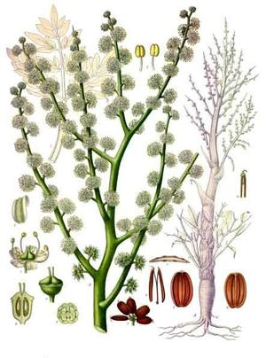Ammoniacum gummi (Смола аравийского дерева)