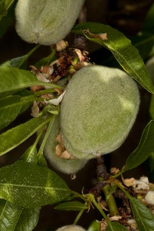 Amygdala amara (Амигдалин, Горький миндаль)