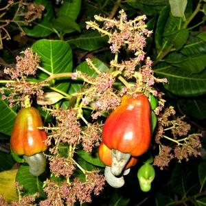 Anacardium occidentale (Анакардий западный, Кешью)