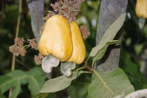 Anacardium orientale, Semecarpus anacardium (Анакардий восточный, Болотный восточный орех, Птицесерд, Слоновая вошь)