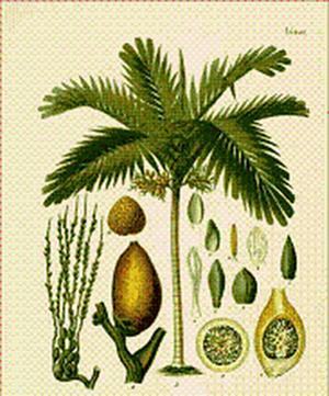 Angustura vera, Cusparia trifoliata (Ангустура истинная, Куспария трехлистная)