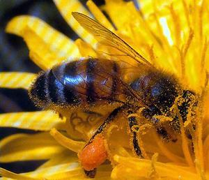 Apis mellifica (Пчела медоносная)