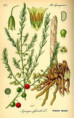 Asparagus officinalis (Спаржа аптечная)