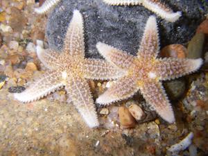 Asterias rubens (Морская звезда)