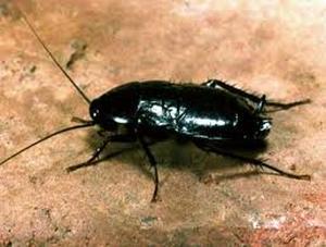 Blatta orientalis (Таракан черный)