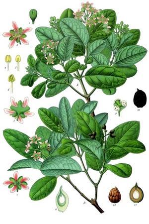Boldoa fragrans (Болдо)