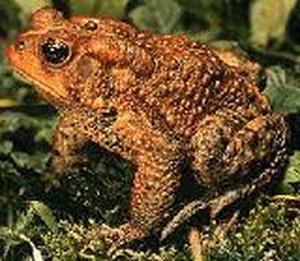 Bufo rana (Жаба ядовитая)