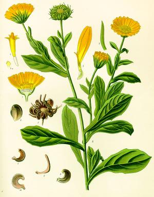 Calendula officinalis (Календула, ноготки)