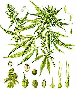 Cannabis indica (Конопля индийская)