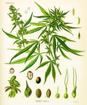 Cannabis sativa (Конопля посевная)