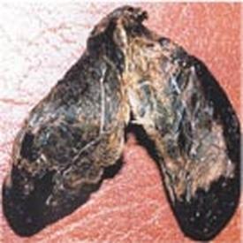 Castoreum (Препуциальный мешок бобра)