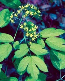 Caulophyllum thalictroides (Стеблелист васильковый)