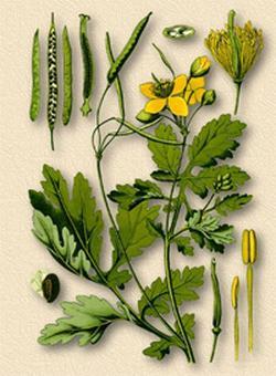 Сhelidonium majus (Чистотел большой, Ласточкин корень, Бородавник)