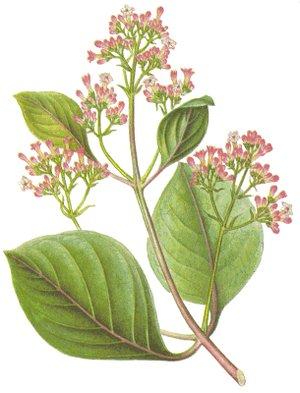 China, Cinhona officinalis seu rubra (Цинхона, Хинное дерево)