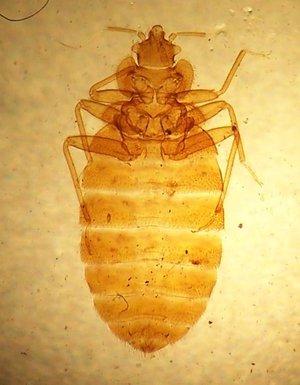 Cimex lectularius (Клоп постельный)