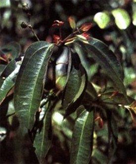 Cinnamomum (Корица цейлонская)