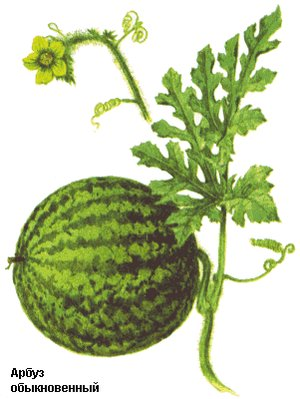 Citrullus (Арбуз)
