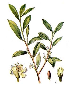 Coca, Erythroxylum coca (Эритроксилон, Кокаиновый куст)
