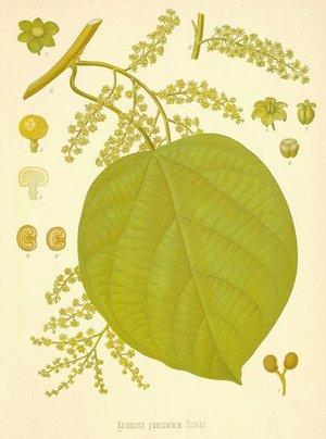 Cocculus indicus, Anamirta cocculus (Кукольван, Рыболовные ягоды)