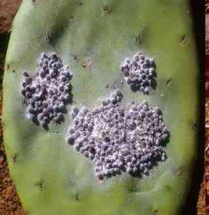 Coccus cacti (Кошениль, кактусовая тля)