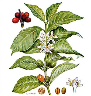 Coffea arabica (Кофейное дерево)