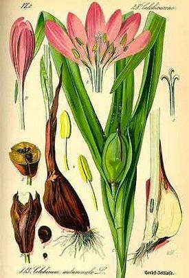 Colchicum automnale (Безвременник осенний)