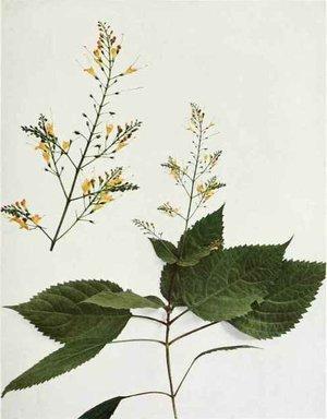 Collinsonia canadensis (Коллинсония канадская)