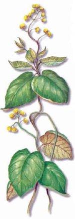 Condurango (Марсдения кондуранго)