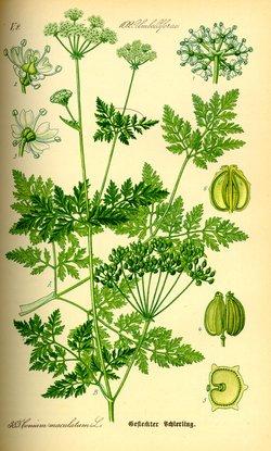 Conium maculatum (Болиголов пятнистый)