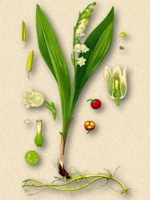 Convallaria majalis (Ландыш майский)