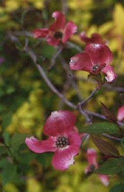 Cornus florida (Кизил цветущий)