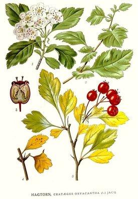 Crataegus oxyacantha (Боярышник колючий)