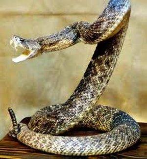 Crotalus horridus (Гремучая змея)
