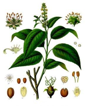 Croton tiglium (Кротон тиглиум)