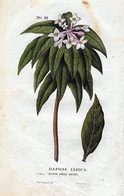 Daphne indica (Волчеягодник индийский)