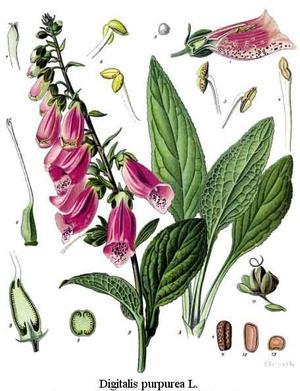 Digitalis purpurea (Наперстянка пурпуровая)