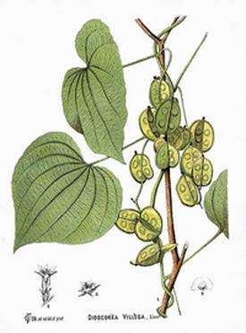 Dioscorea villosa (Диоскорея мохнатая, Дикий ямс)