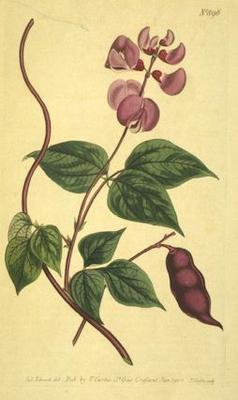Dolichos pruriens, Stizolobium (Стизолобиум, Зудящий боб)