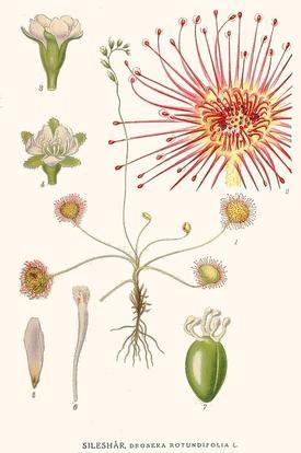 Drosera rotundifolia (Росянка круглолистная)