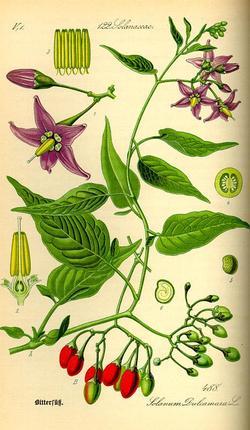 Dulcamara, Solanum dulcamara (Паслен сладко-горький, Сорочья ягода)