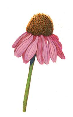 Echinacea angustifolia (Эхинацея узколистная)