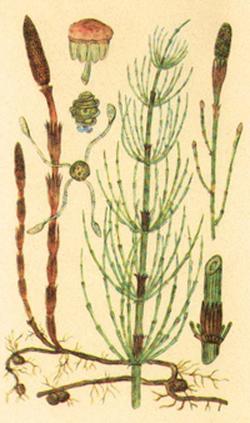 Equisetum hyemale, arvense (Хвощ зимующий, полевой)