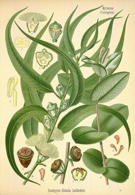 Eucalyptus globulus (Эвкалипт шариковый, голубой)