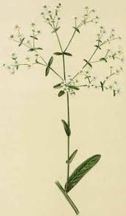 Euphorbia corollata (Молочай венчиконосный)