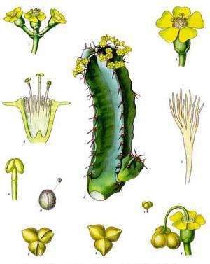 Euphorbia resinifera (Молочай смолоносный)