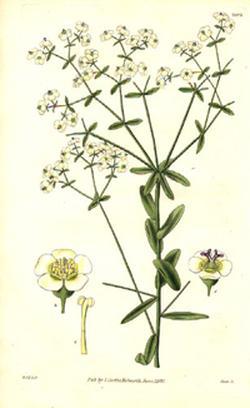 Euphorbium officinarum (Молочай аптечный)