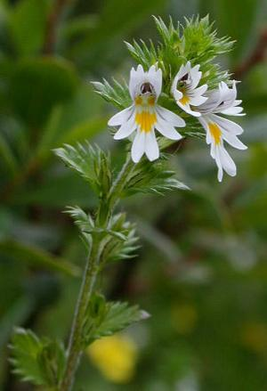 Euphrasia officinalis (Очанка аптечная)